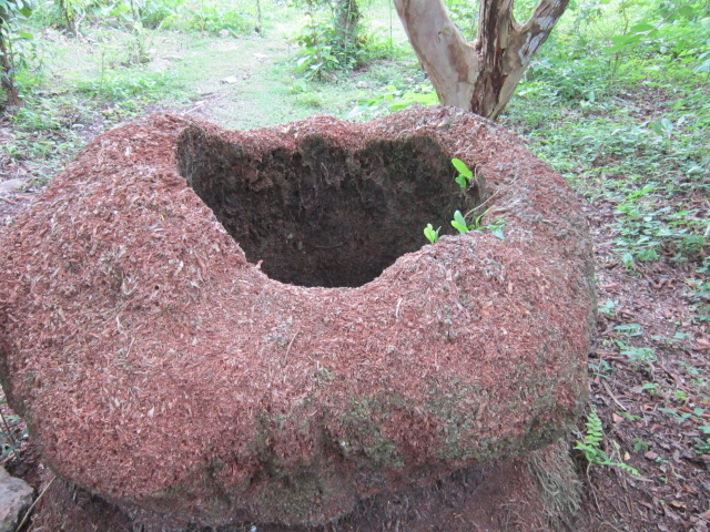This the base of a coconut tree that no longer exists. It looks like a space alien to me.