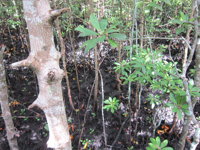 Mangrove Root system