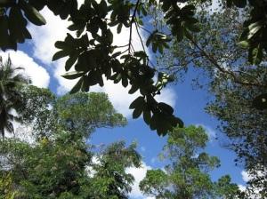 Sour Sop tree