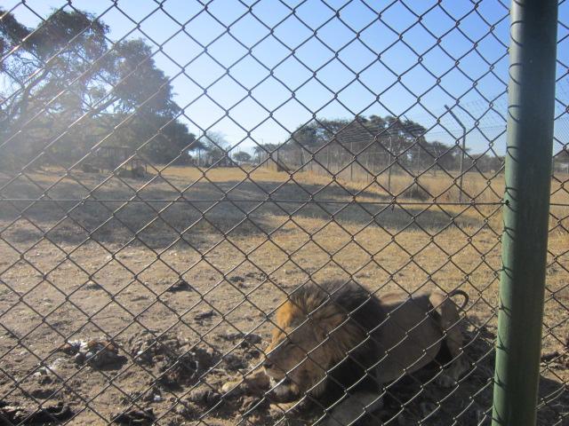 Poppa Lion enjoying his meal of zebra entrails