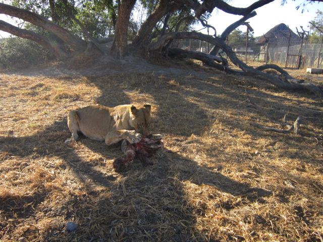 Enjoying her meal of a zebra's head