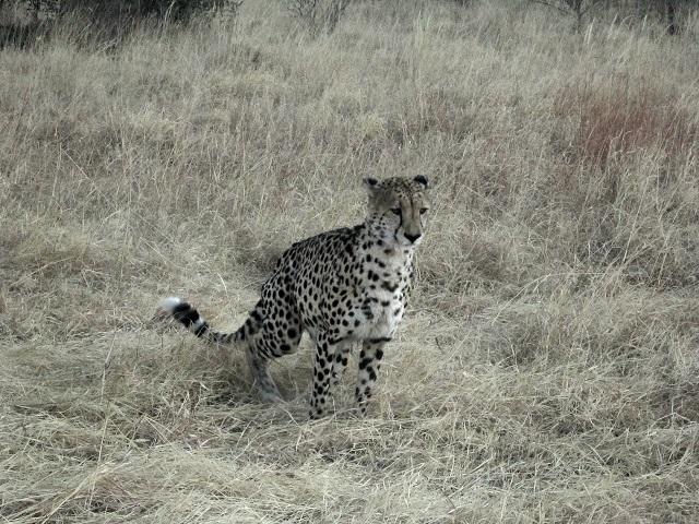 Cheetah brother 1