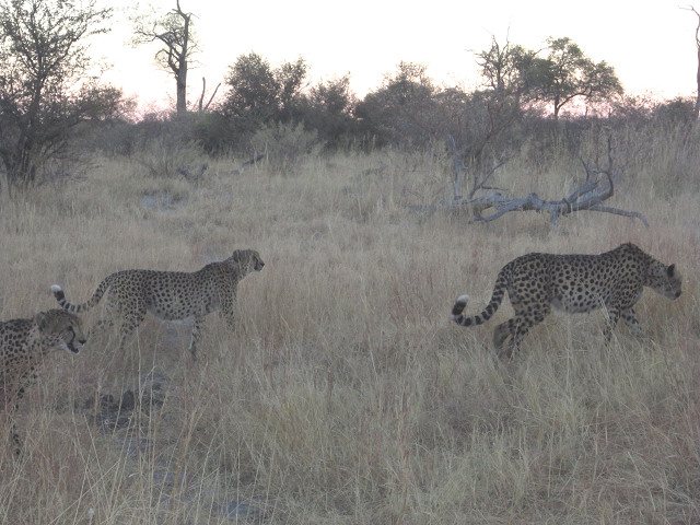 Cheetah brothers on the move