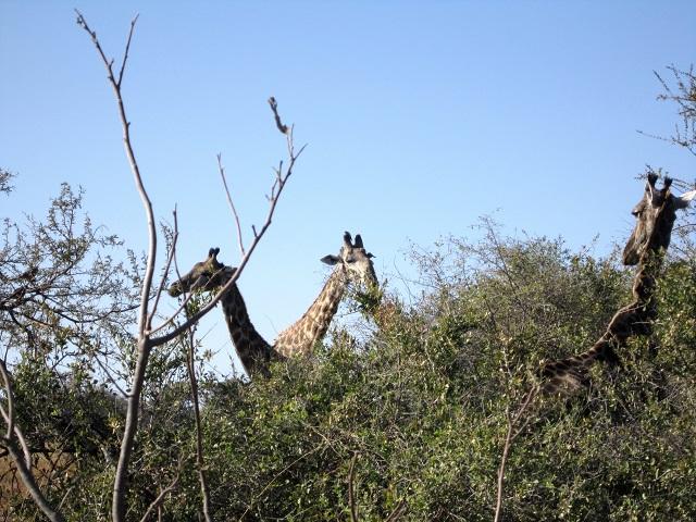 giraffes Pom Pom