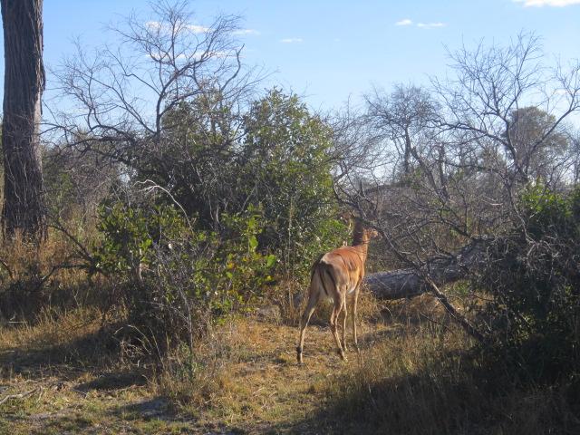 Impala bum view
