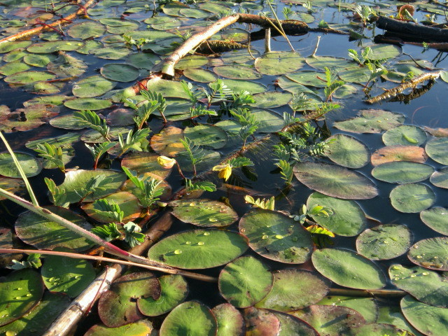 Lily pads and touch me nots