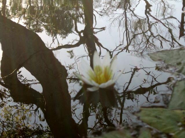 Just one of the beautiful water lilies that we paddled by