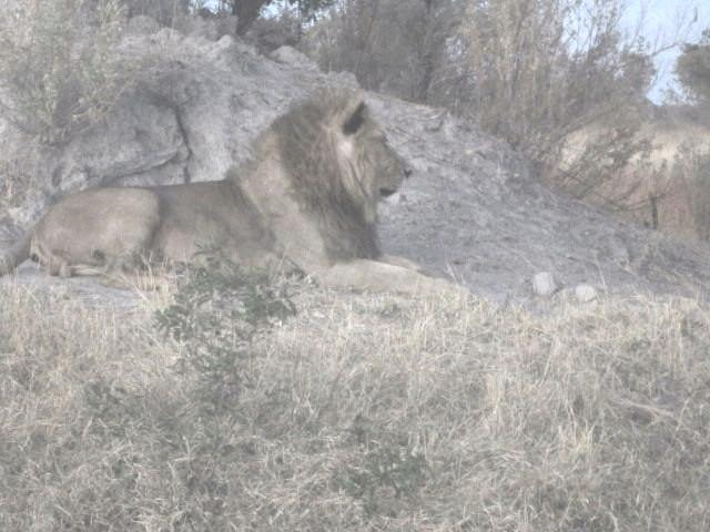 Poppa lion