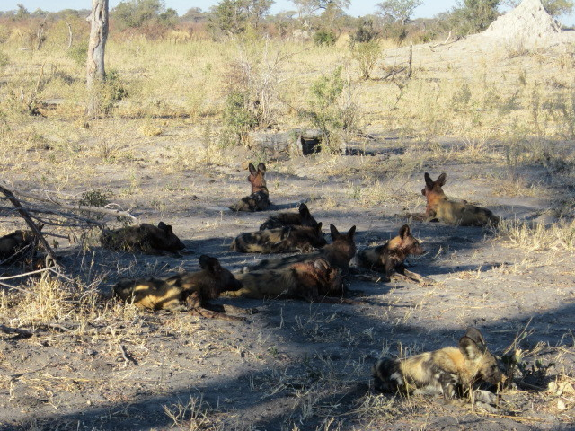 Wild dog pack resting