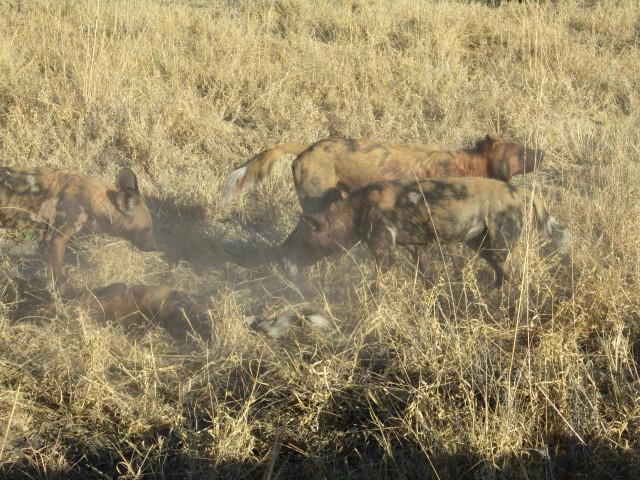 wild dogs 3