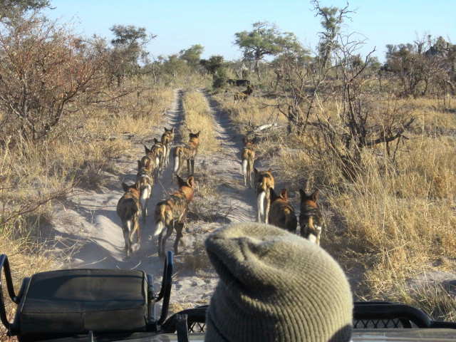 wild dogs leading the way 2