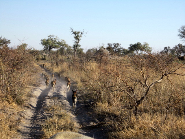 wild dogs leading the way