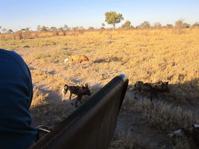 Wild dogs on the move 3