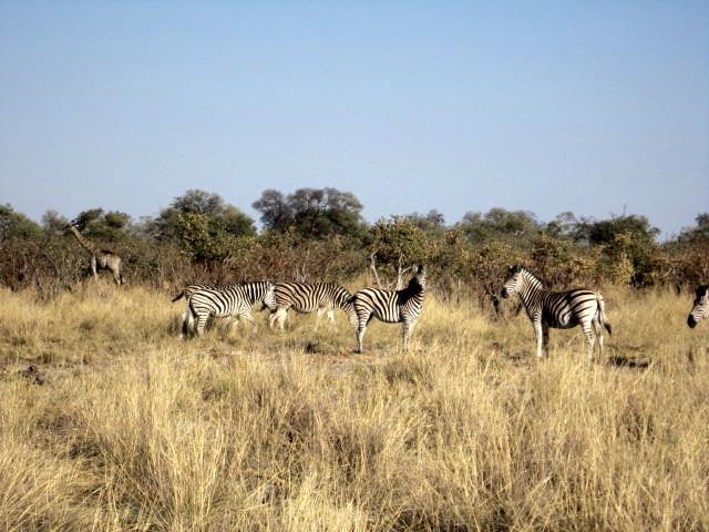 Not so shy zebras