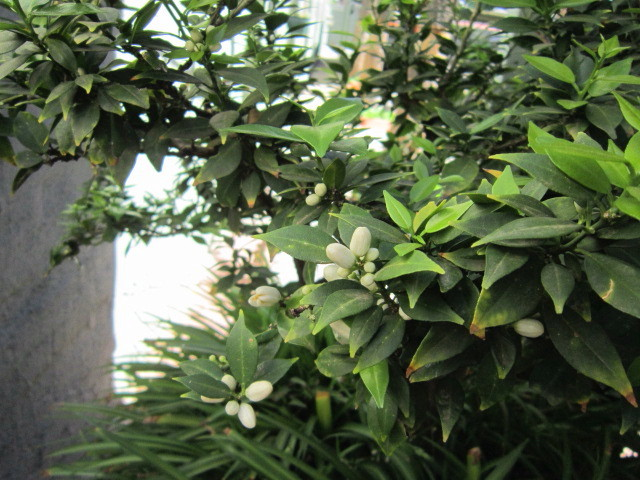 Orange blossoms outside my door